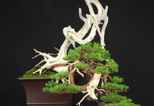 Juniperus Formosana