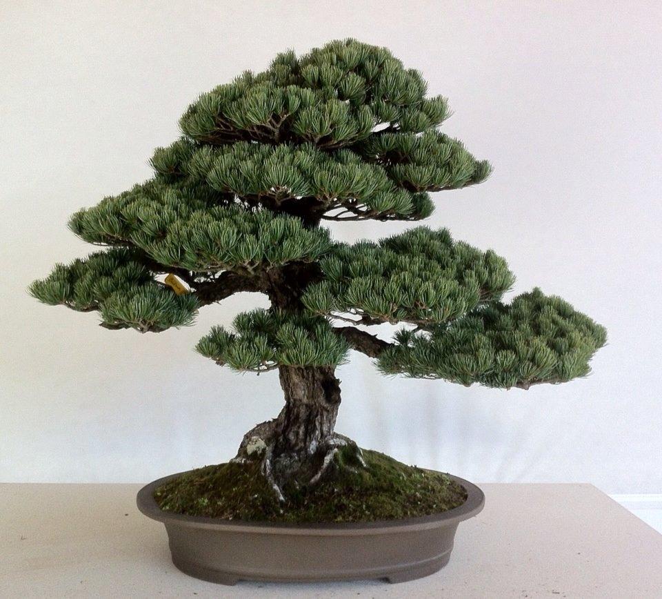 francesco santini galleria franchi bonsai