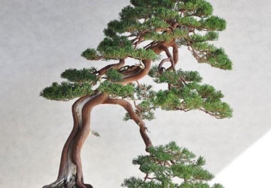 Ginepro Chinensis