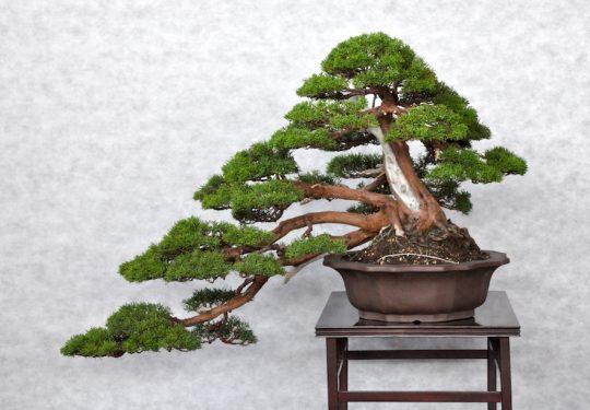 Ginepro Chinensis Var.Itoigawa