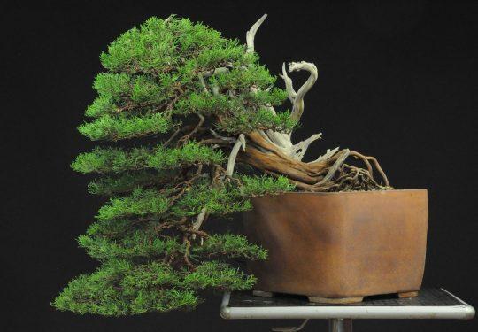 Juniperus Phoenicia
