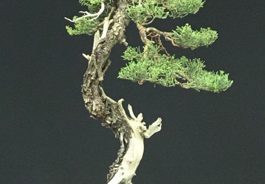 Cupressus Sempervirens